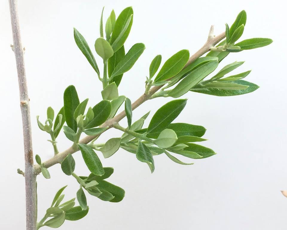 olivetree成長記録