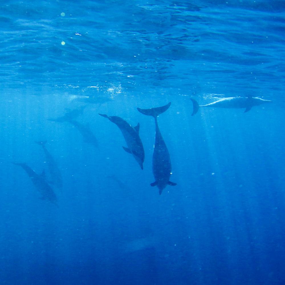 ハワイでイルカと触れ合う