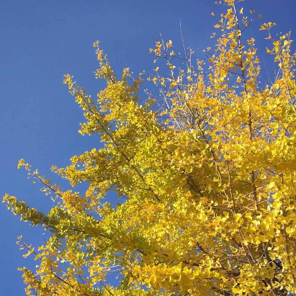 イチョウの落葉の季節